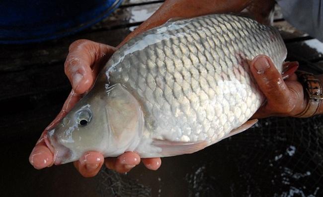 Cách phòng và điều trị một số bệnh phổ biến trên cá chép