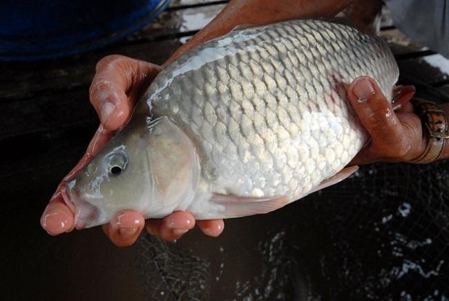 Nuôi cá chép giòn bằng hạt đậu tằm hiệu quả cao