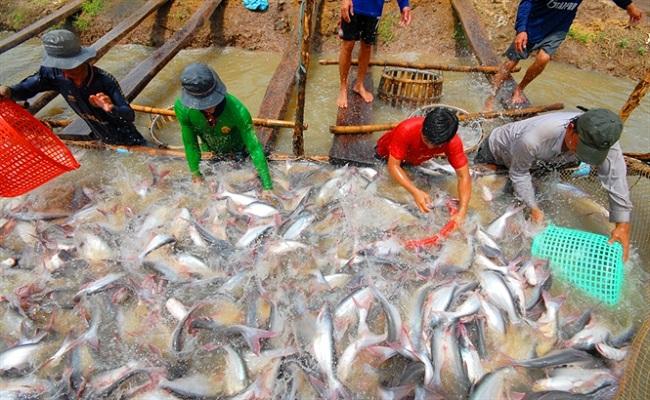Quy trình xử lý ao nuôi cá nước ngọt