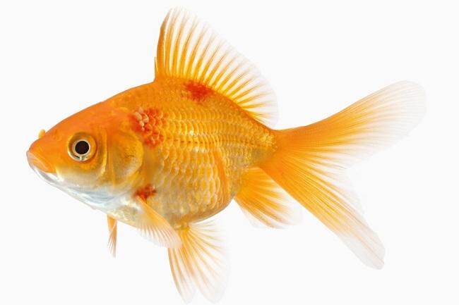 Bài thuốc quý giúp tăng tỉ lệ sống khi cá mắc bệnh xuất huyết