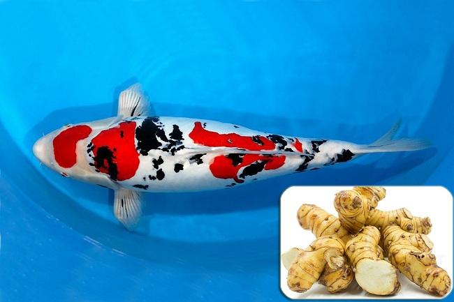 Gây mê cá bằng phương pháp tự nhiên với củ riềng