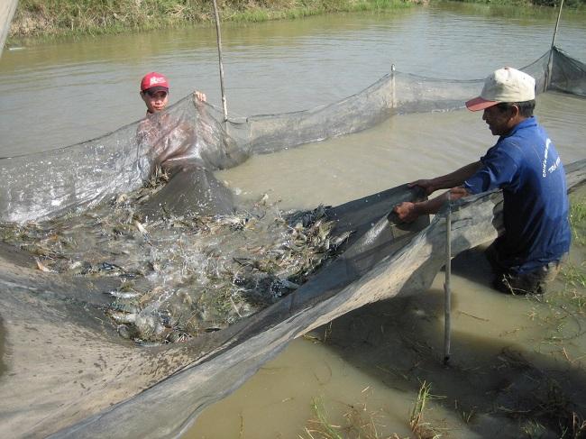 Giải pháp sinh học phòng dịch bệnh trên tôm từ các loài cá