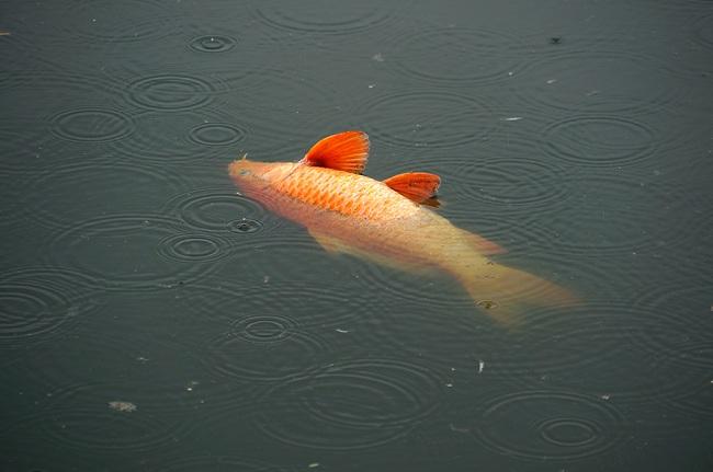 Hiện tượng cá nổi đầu: Nguyên nhân và giải pháp xử lý