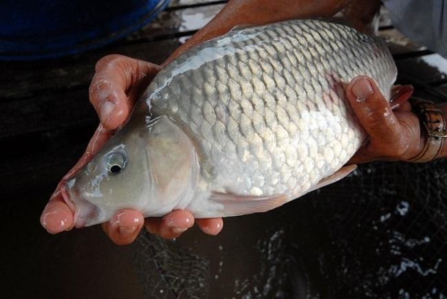 Kỹ thuật nuôi cá chép giòn thương phẩm và kỹ thuật nuôi cá chép