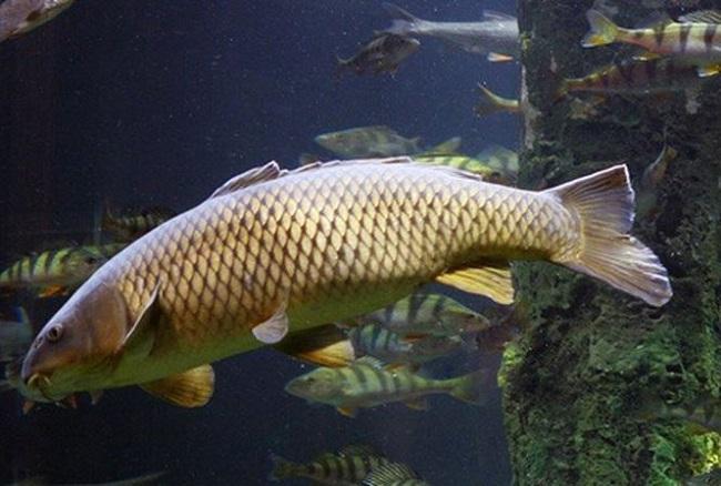 Kỹ thuật nuôi cá chép sinh sản tự nhiên trong ao hiệu quả cao