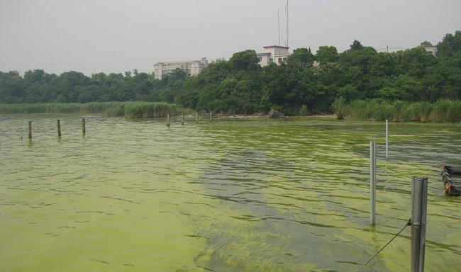 Ngộ độc tảo lam đáy trong ao nuôi tôm và cách khắc phục