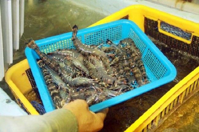 Những lưu ý trong xử lý đáy ao nuôi tôm, cá