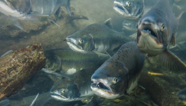 Nuôi trồng thủy sản có ảnh hưởng đến các loài thủy sản tự nhiên không?